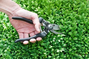 pruning-holly